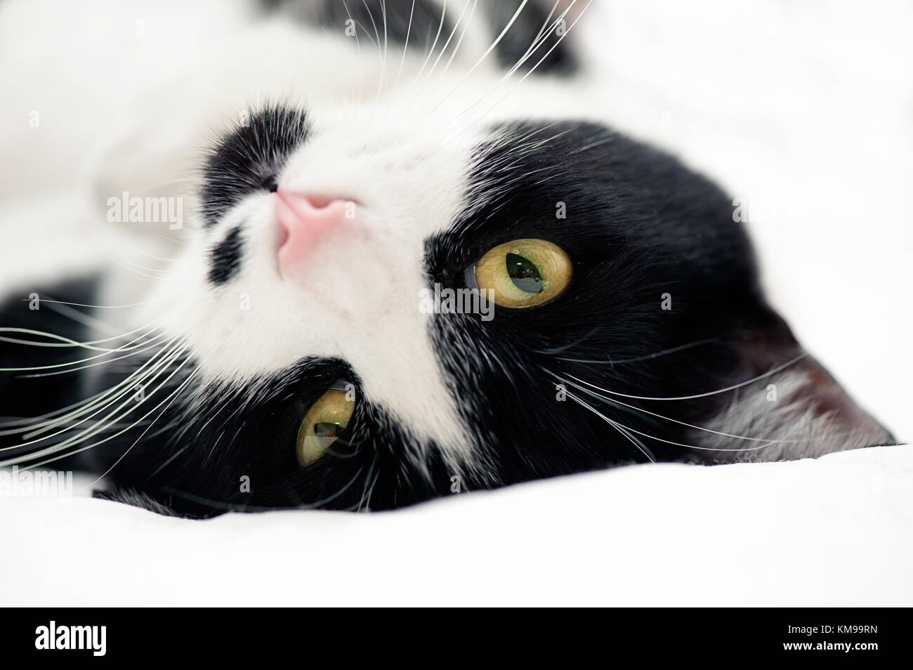 Portrait of tuxedo cat - Stock Image
