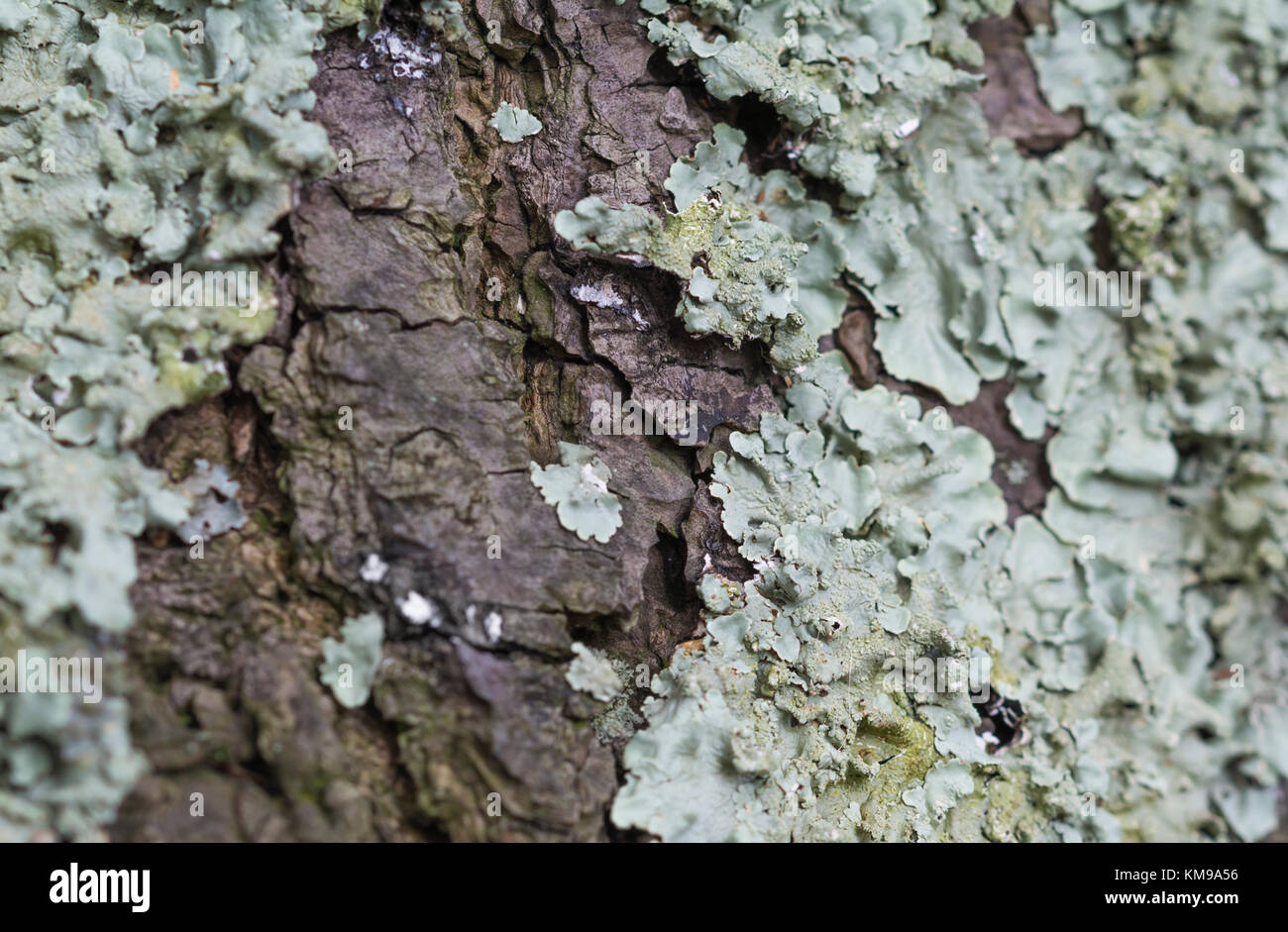 Lichens on the bark of a tree. Closeup. - Stock Image