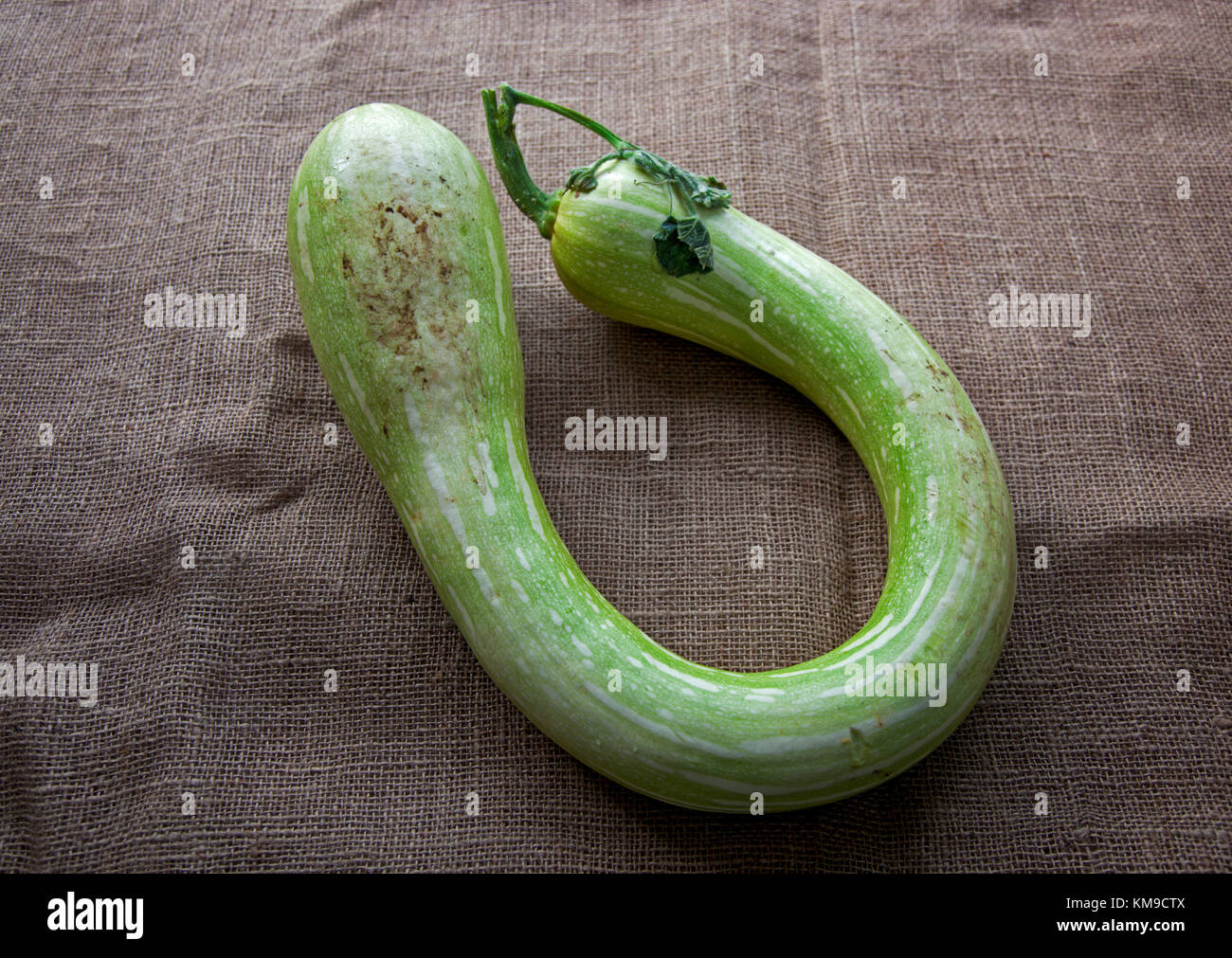 A close up of an unusually shaped Italian trombone squash on a piece of sacking - Stock Image
