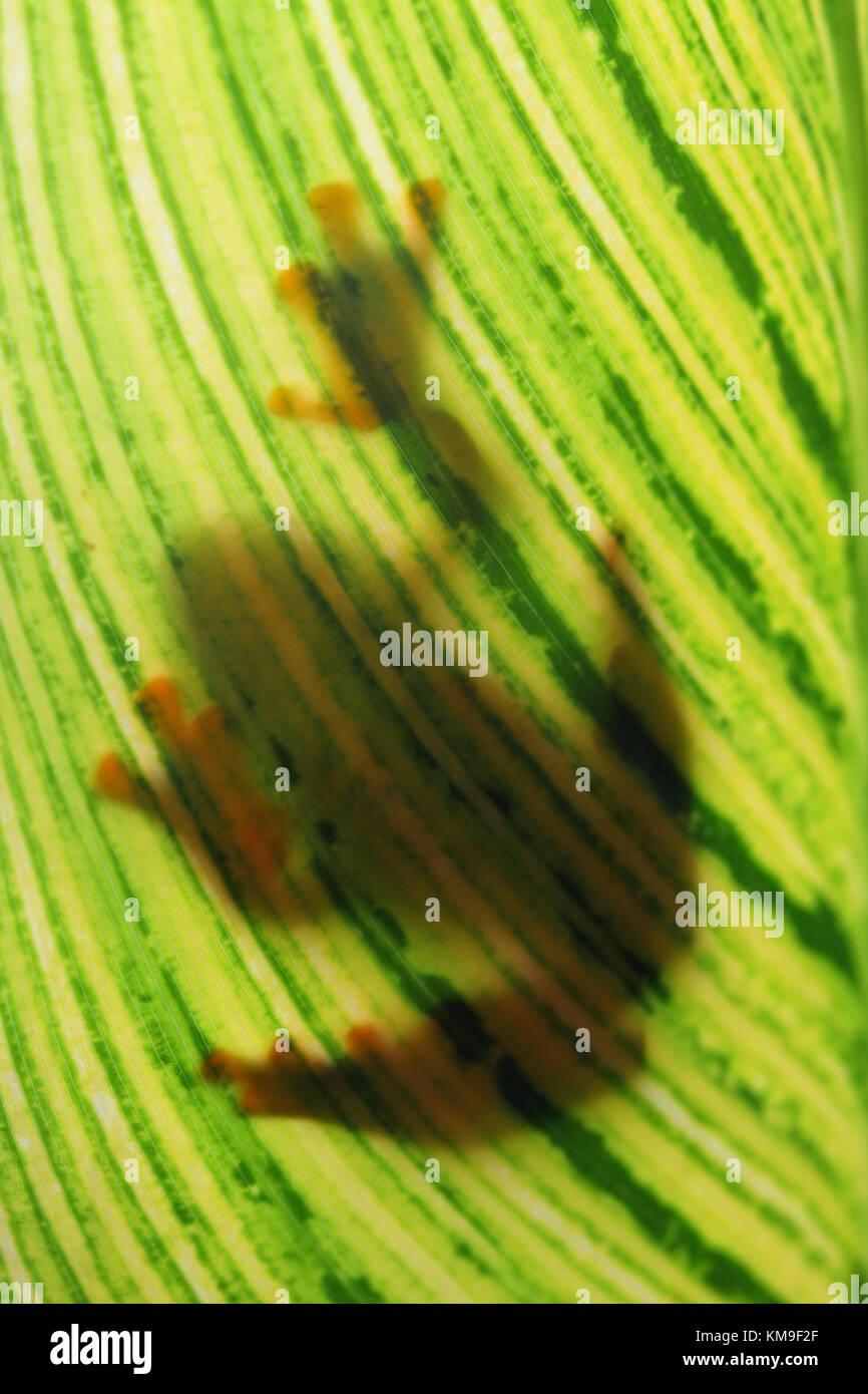 Shadow of a javan tree frog sitting on a leaf Stock Photo