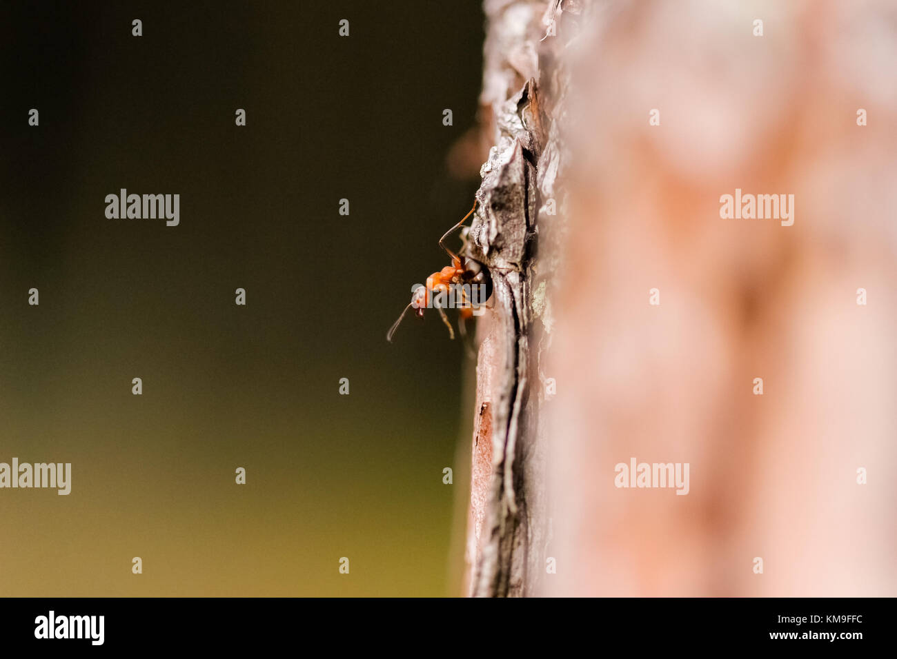An ant on the side of a tree, defying the laws of gravity. - Stock Image