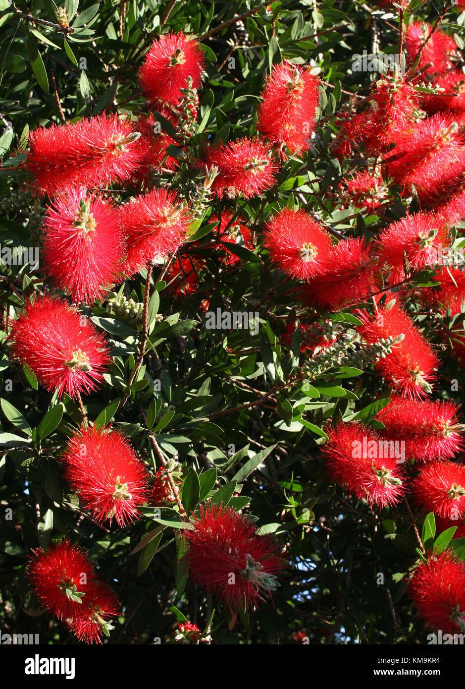 Stiff Bottlebrush, Callistemon rigidus Myrtaceae - Stock Image
