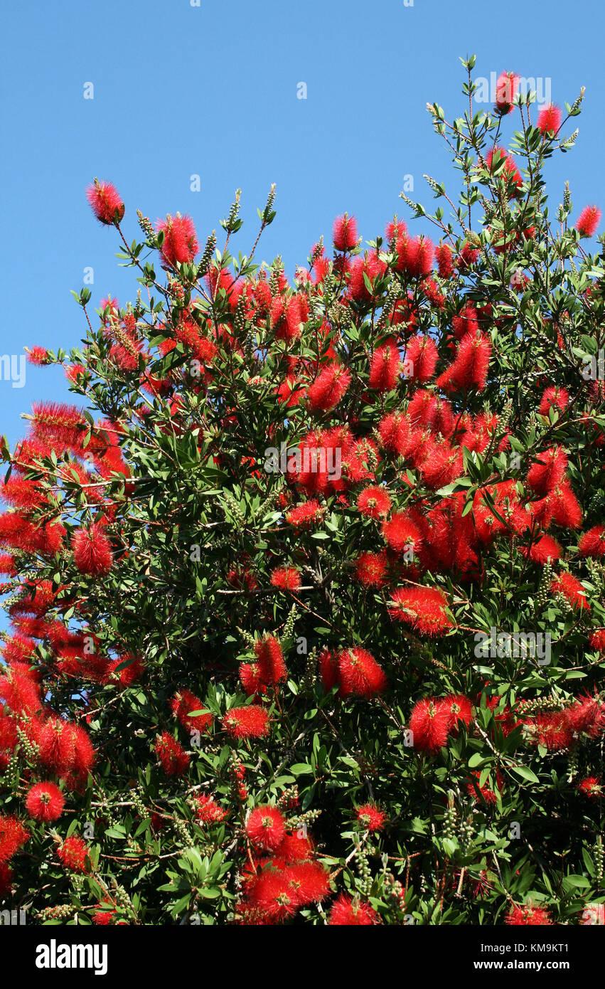 Stiff Bottlebrush, Callistemon rigidus, Myrtaceae - Stock Image