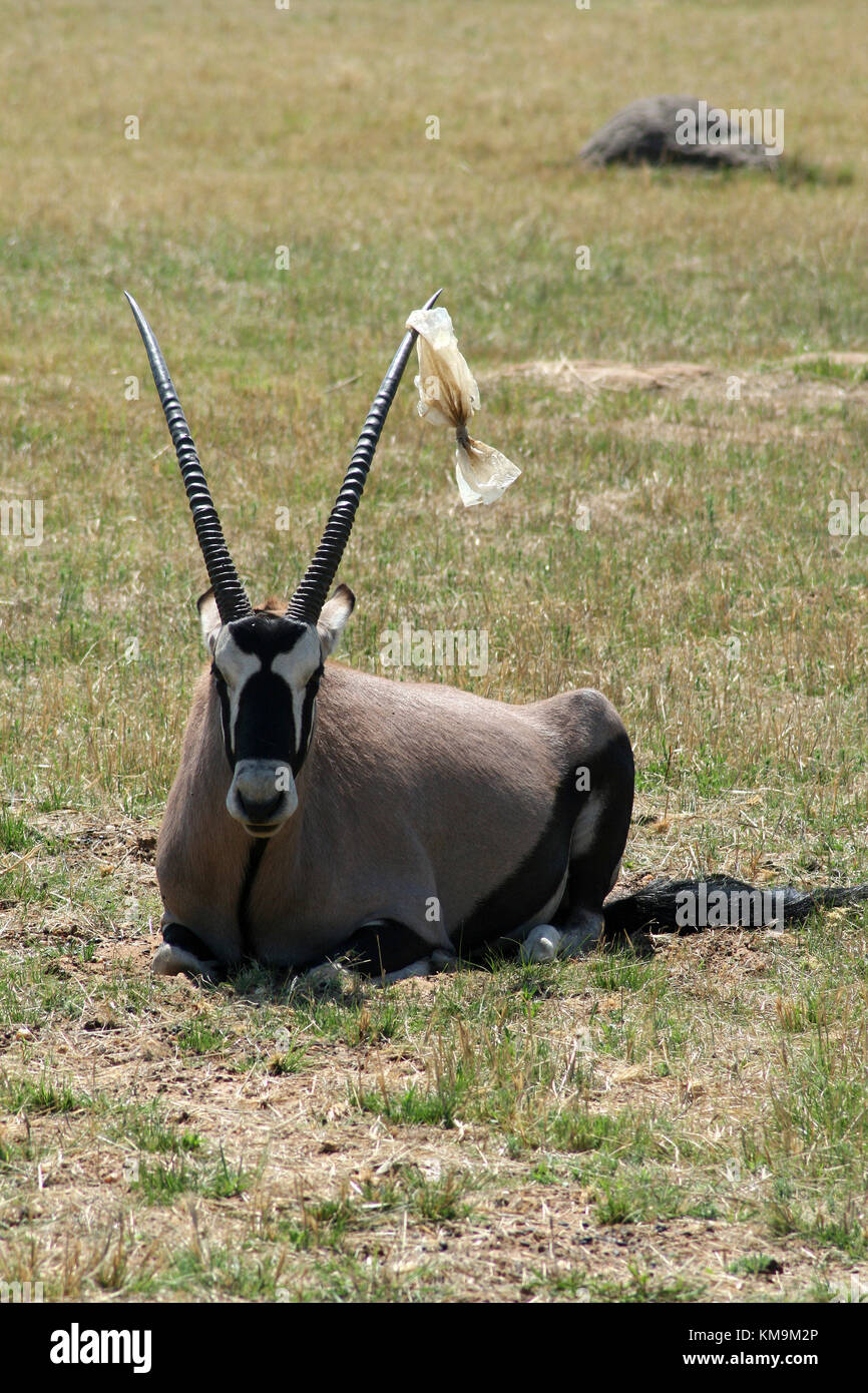 Lion Park, Gemsbok lying on the grass with plastic packet stuck on it's horn, Oryx gazella - Stock Image