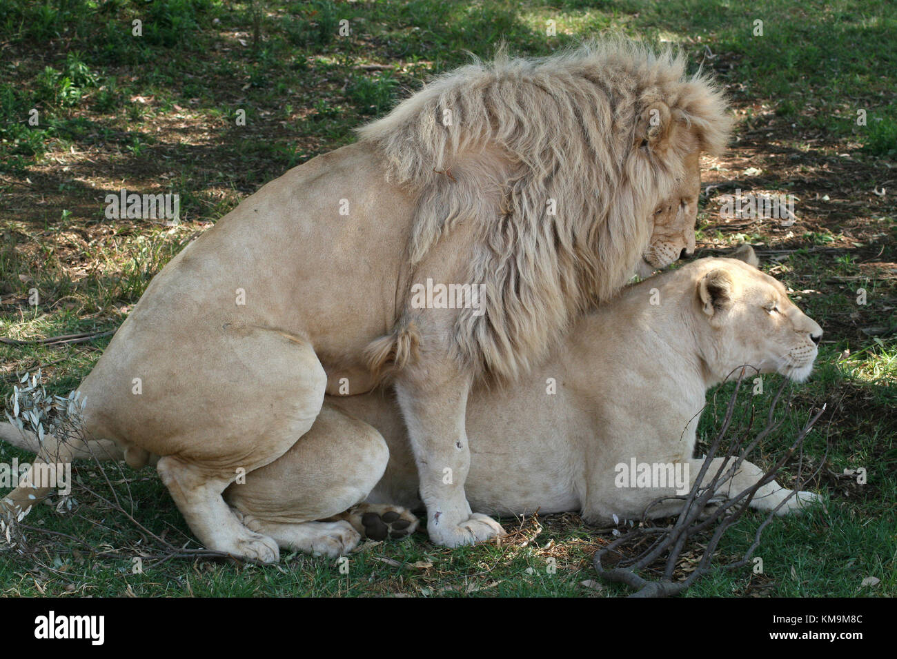 Lion Park, white lion and lioness mating, Panthera leo krugeri - Stock Image