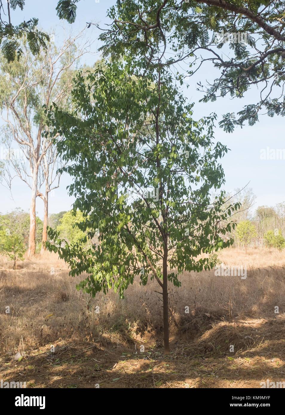 Young sandal (Santalum album) trees, Mysore, Karnataka, India. - Stock Image