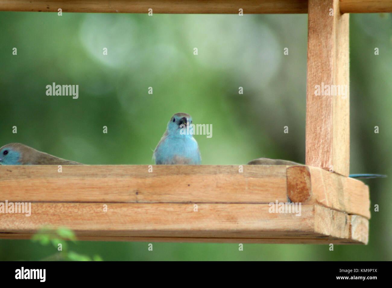 Kruger National Park, Marloth Park, Blue waxbills sitting in wooden bird feeder, Uraeginthus angolensis - Stock Image