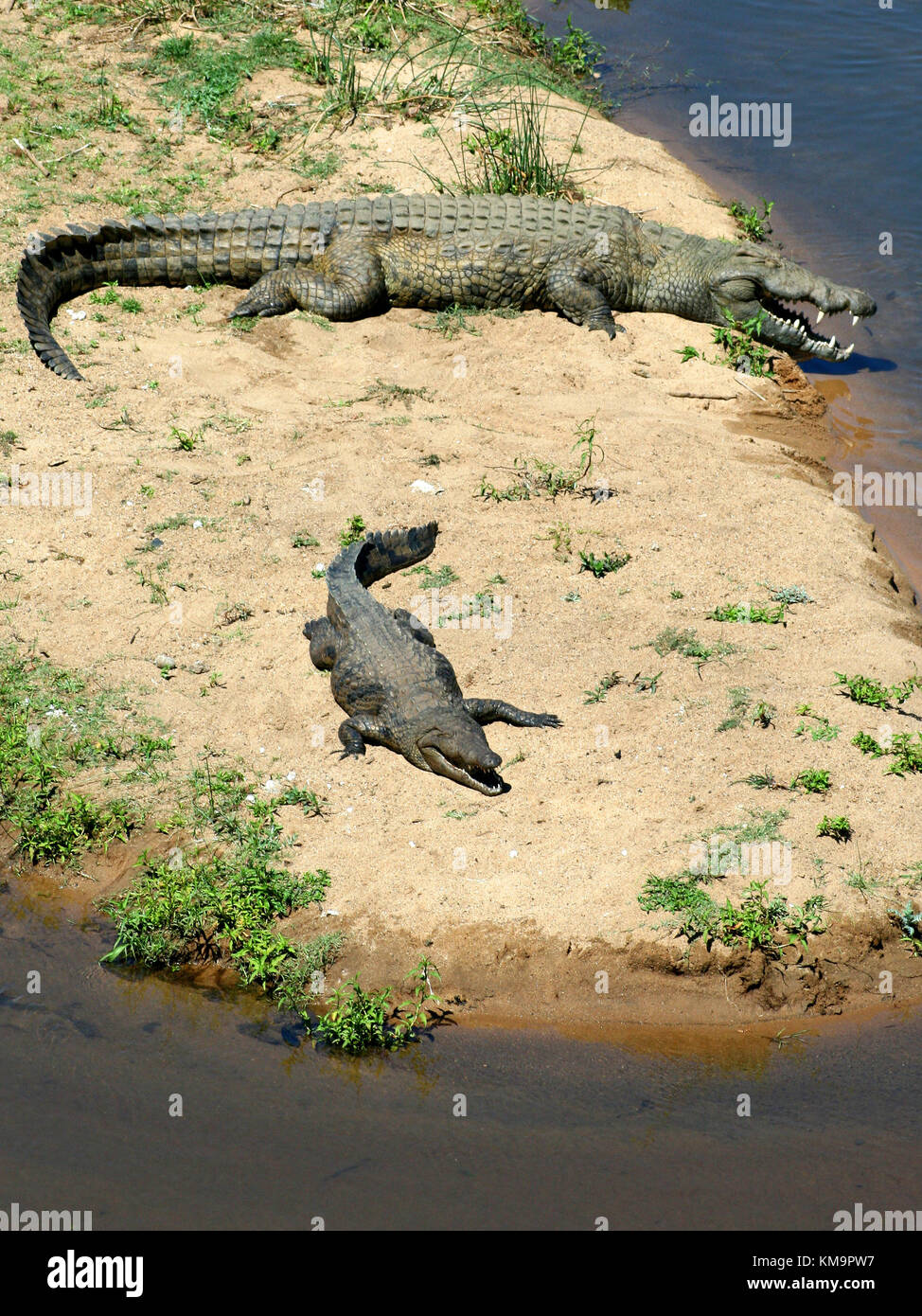 Kruger National Park, Crocodiles lying in the sun with mouths open, panting, Crocodylidae - Stock Image