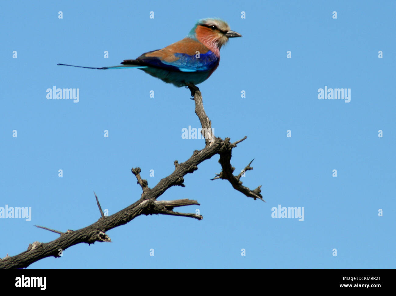 Kruger National Park, Lilac-breasted roller perched on the top of a tree, Coracias caudatus - Stock Image