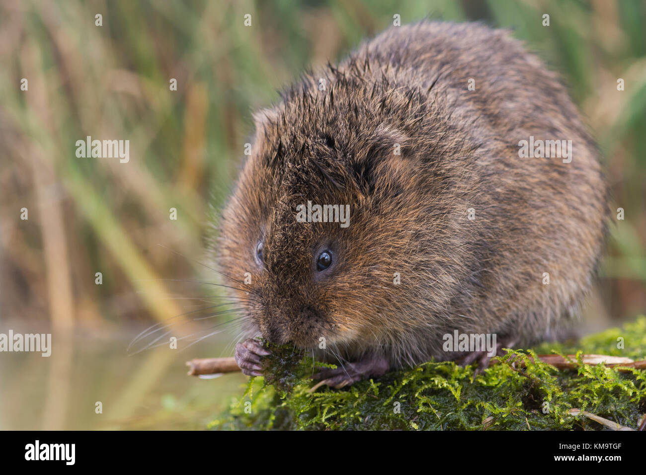 British Water Vole (Arvicola amphibius) eating on a moss covered rock - England, United Kingdom - Stock Image
