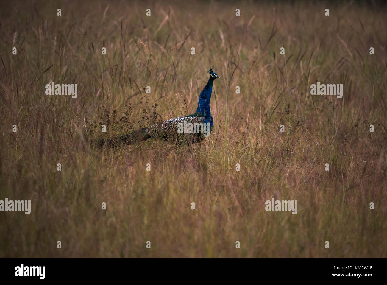 Indian peacock male in the grassland - Stock Image