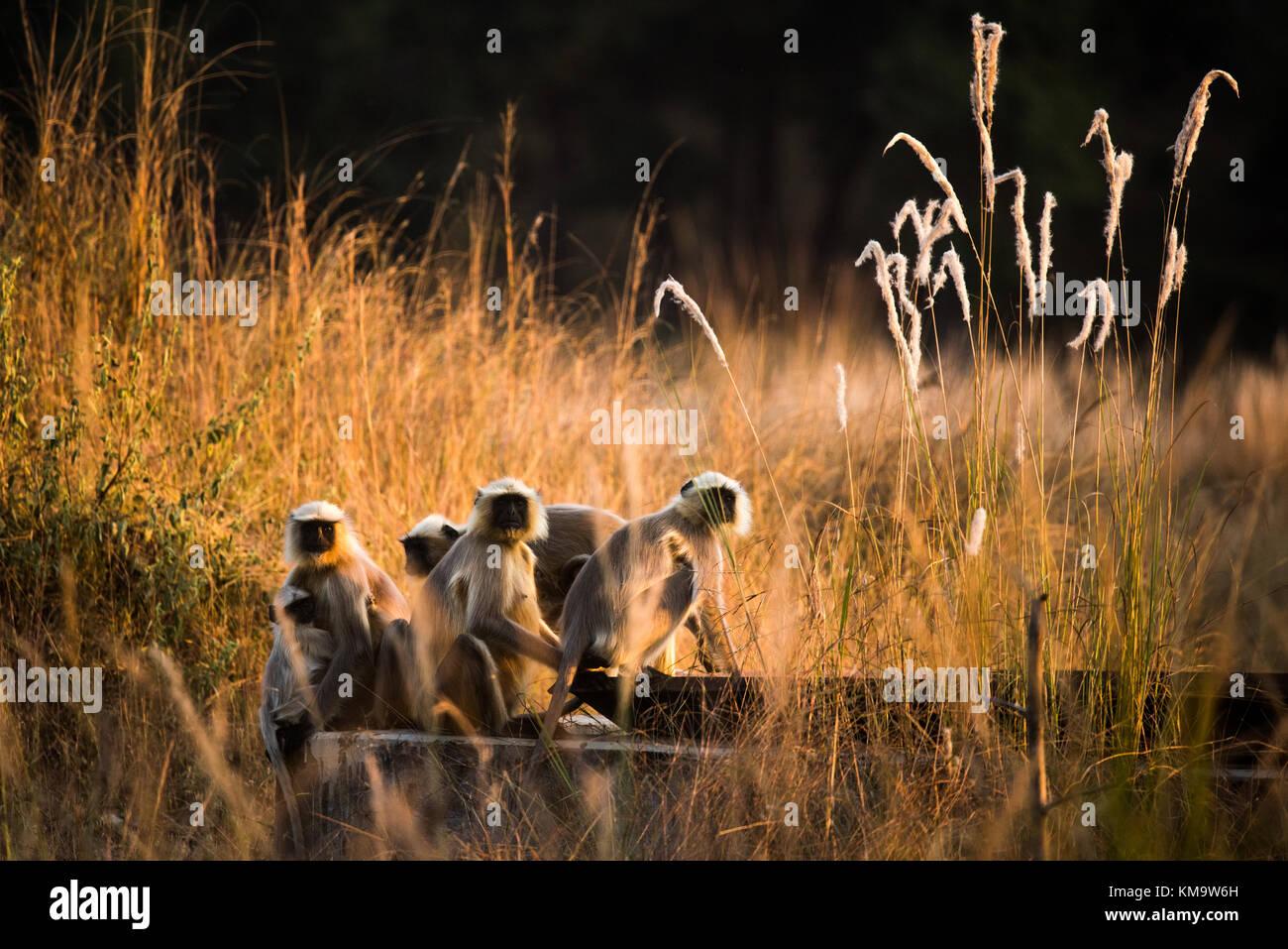 Hanuman langurs in Bandhavgarh National Park - Stock Image