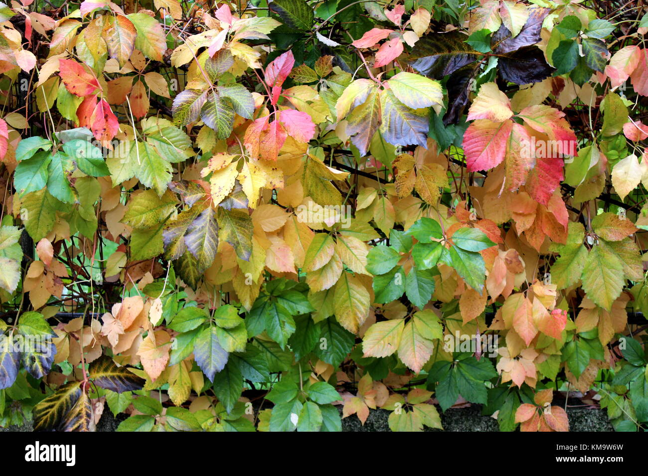 Green Creeper Plant On Wall Stock Photos & Green Creeper Plant On ...