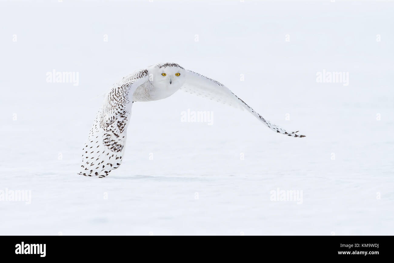 Snowy owl (Bubo scandiacus) hunting over a snow covered field in Canada Stock Photo