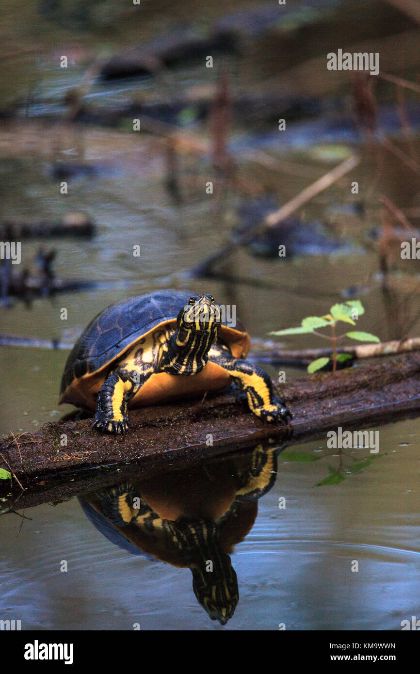 Florida redbelly turtle Pseudemys nelson perches on a cypress log in the Corkscrew Swamp Sanctuary in Naples, Florida Stock Photo