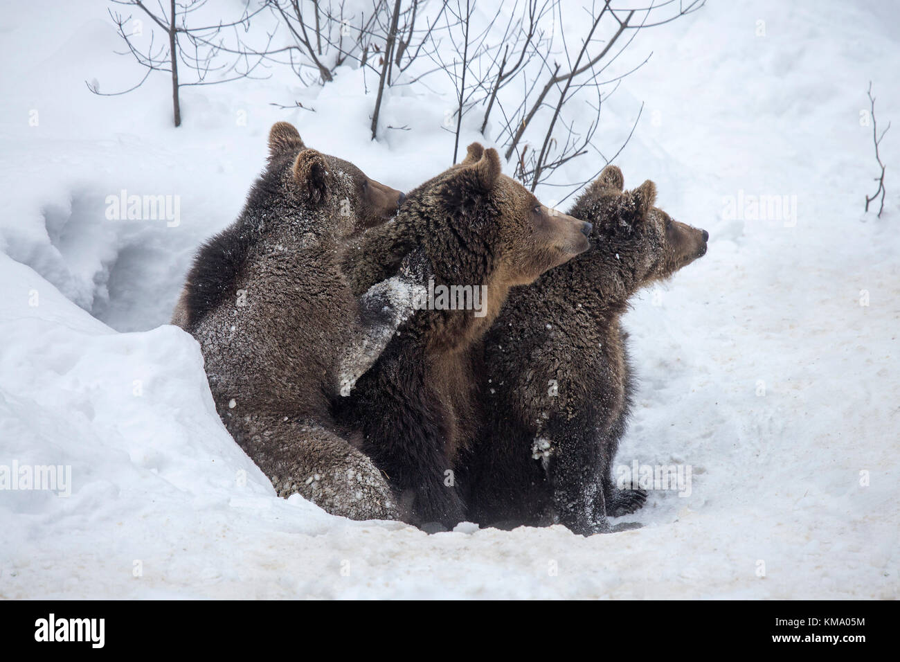 Female and two one-year-old brown bear cubs (Ursus arctos arctos) leaving den in the snow in early spring - Stock Image