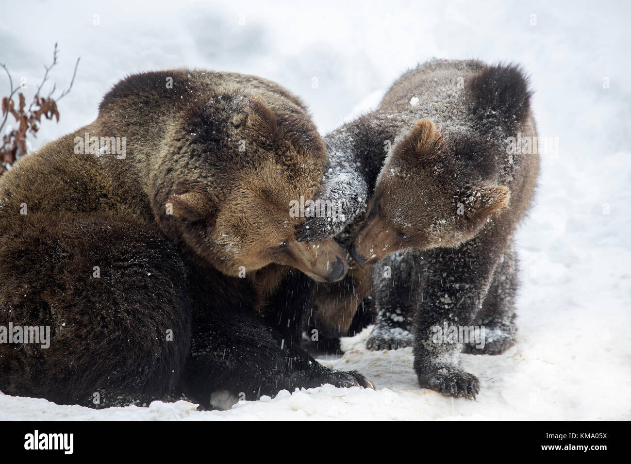 Female playing with one-year-old brown bear cub (Ursus arctos arctos) in the snow in winter - Stock Image