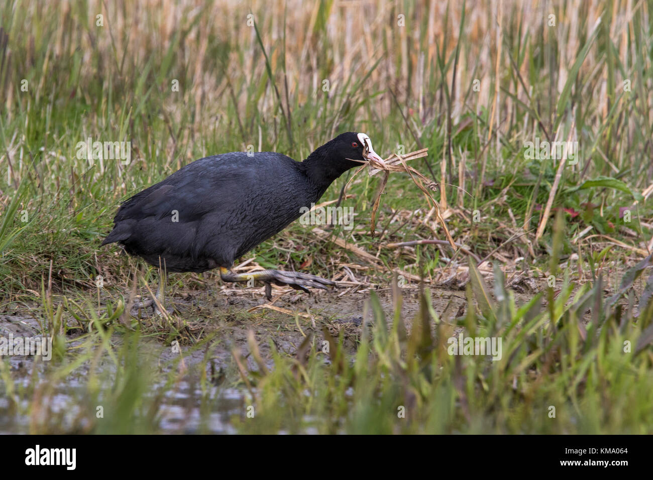 Eurasian coot (Fulica atra) in wetland collecting nesting material like grass blades for nest building in the breeding - Stock Image