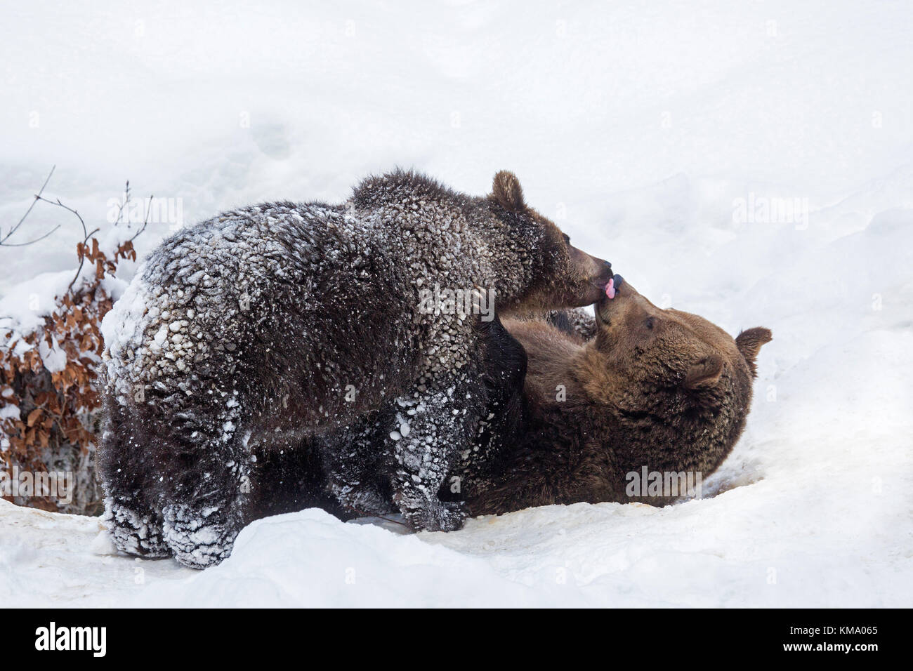 One-year old cub greeting female brown bear (Ursus arctos arctos) in the snow in winter - Stock Image