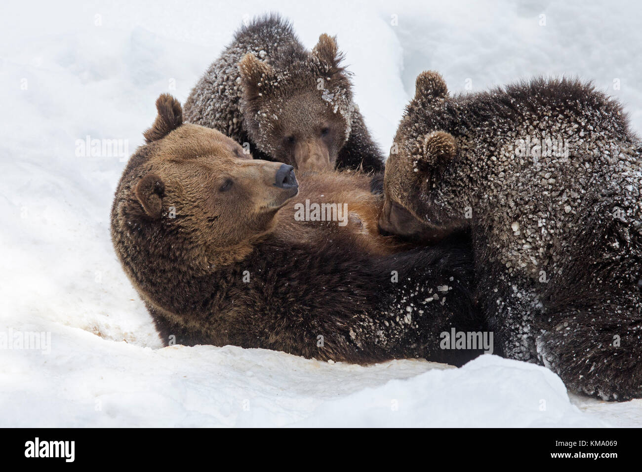 Female brown bear suckling two 1-year-old cubs (Ursus arctos arctos) in the snow in winter - Stock Image