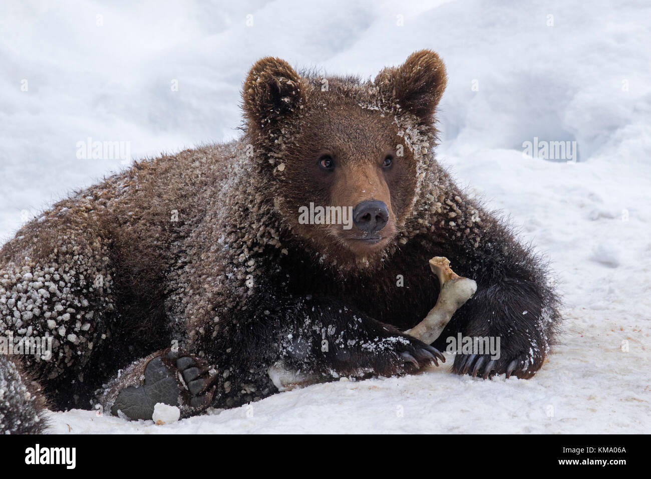 One year old brown bear cub (Ursus arctos arctos) playing with knuckle bone in the snow in winter - Stock Image