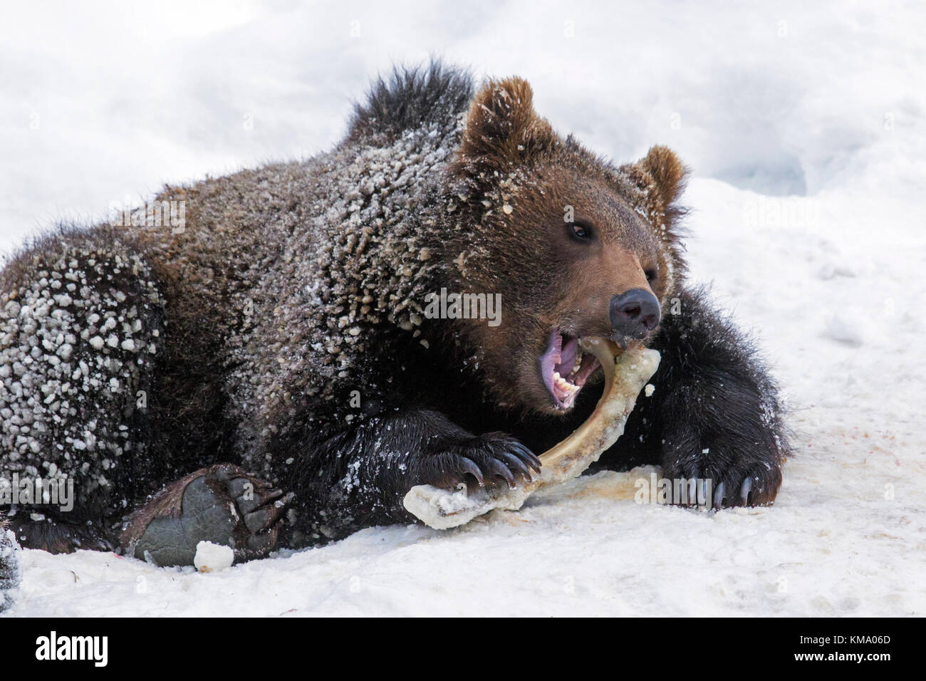 One year old brown bear cub (Ursus arctos arctos) gnawing on knuckle bone in the snow in winter - Stock Image