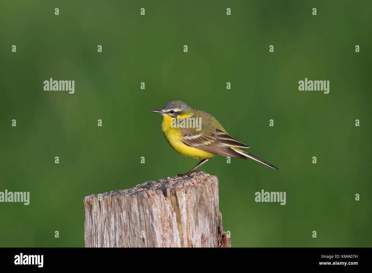 Western yellow wagtail (Motacilla flava), male perched on wooden fence post - Stock Image
