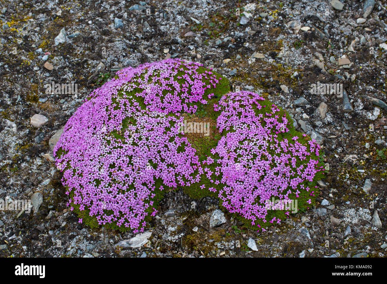 Moss campion / cushion pink (Silene acaulis) in flower in summer on the arctic tundra, Svalbard / Spitsbergen, Norway - Stock Image