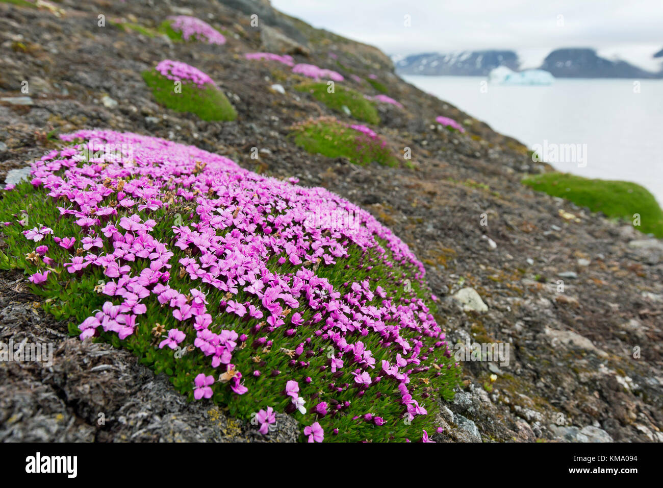 Pink Arctic Flowers Stock Photos Pink Arctic Flowers Stock Images