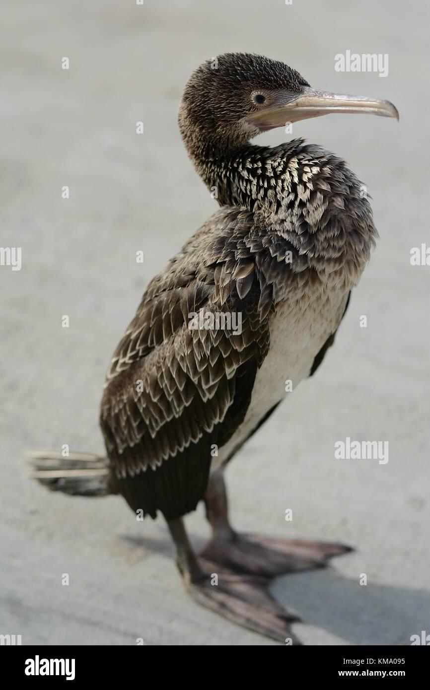 Socotra cormorant (lat.:Phalacrocorax nigrogularis) - Stock Image