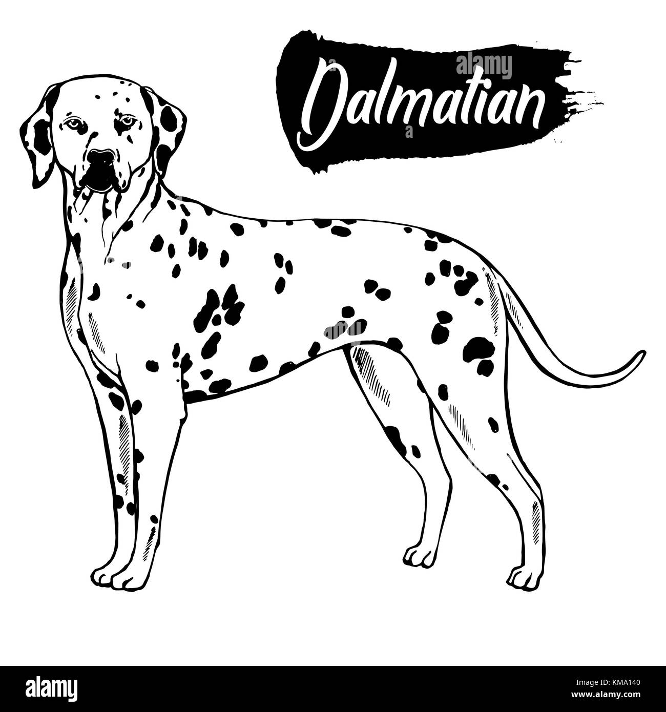 Hand drawn sketch style dalmatian. Vector illustration isolated on white background. - Stock Vector