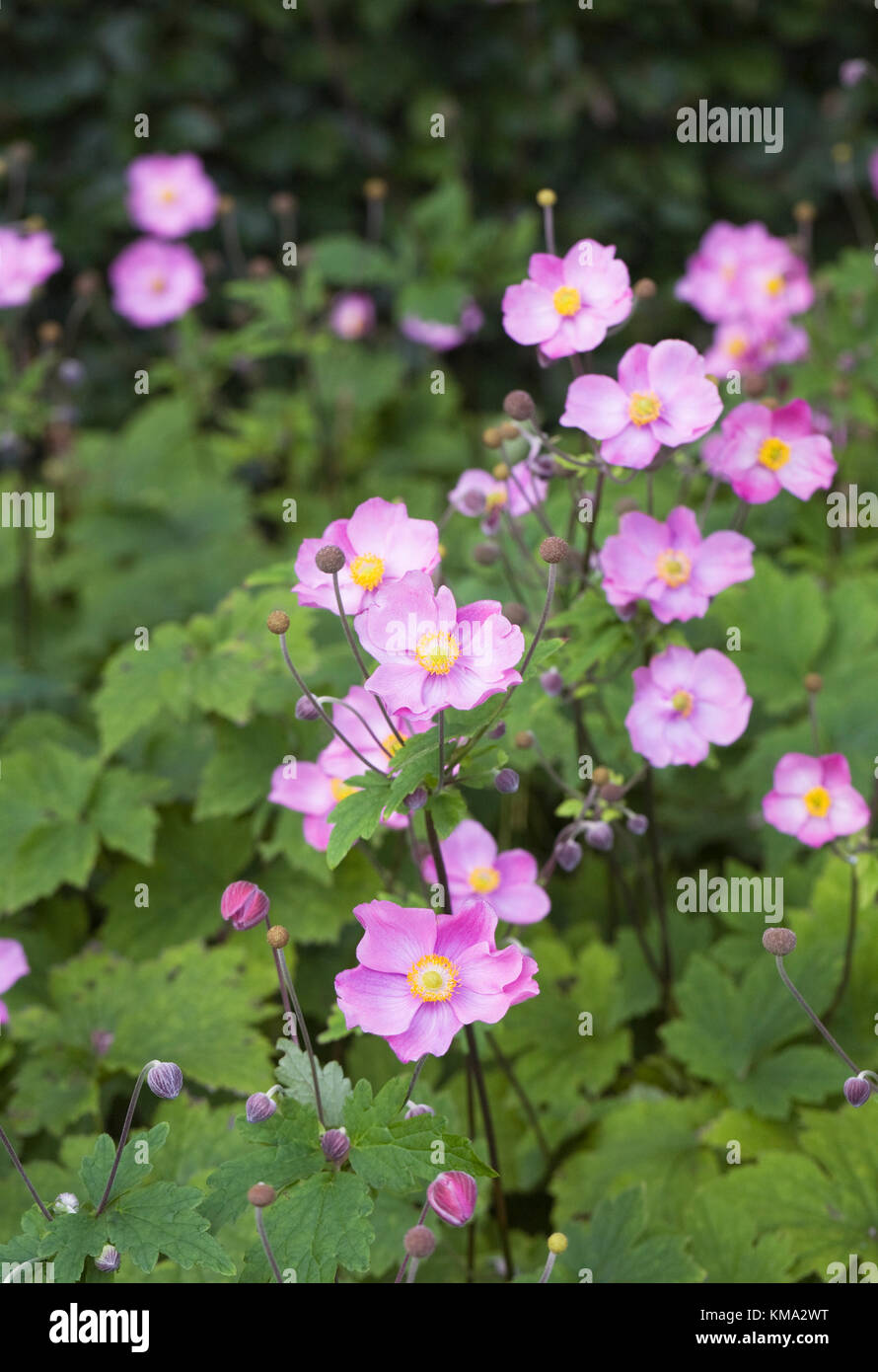 Anemone hupehensis 'Bowles Pink'. Japanese anemones growing in an herbaceous border. Stock Photo