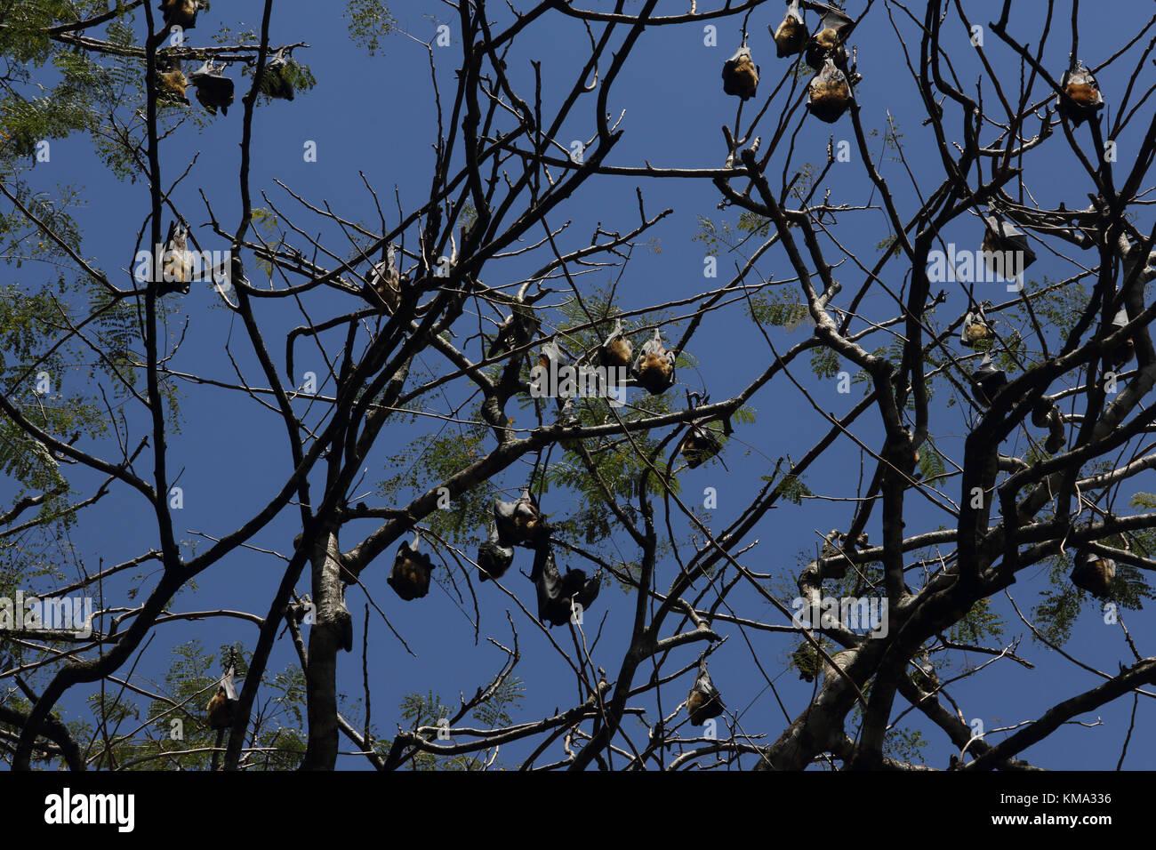 Peradeniya  Kandy Central Province Sri Lanka Peradeniya Royal Botanical Gardens Colony of Fruit Bats In Trees Stock Photo