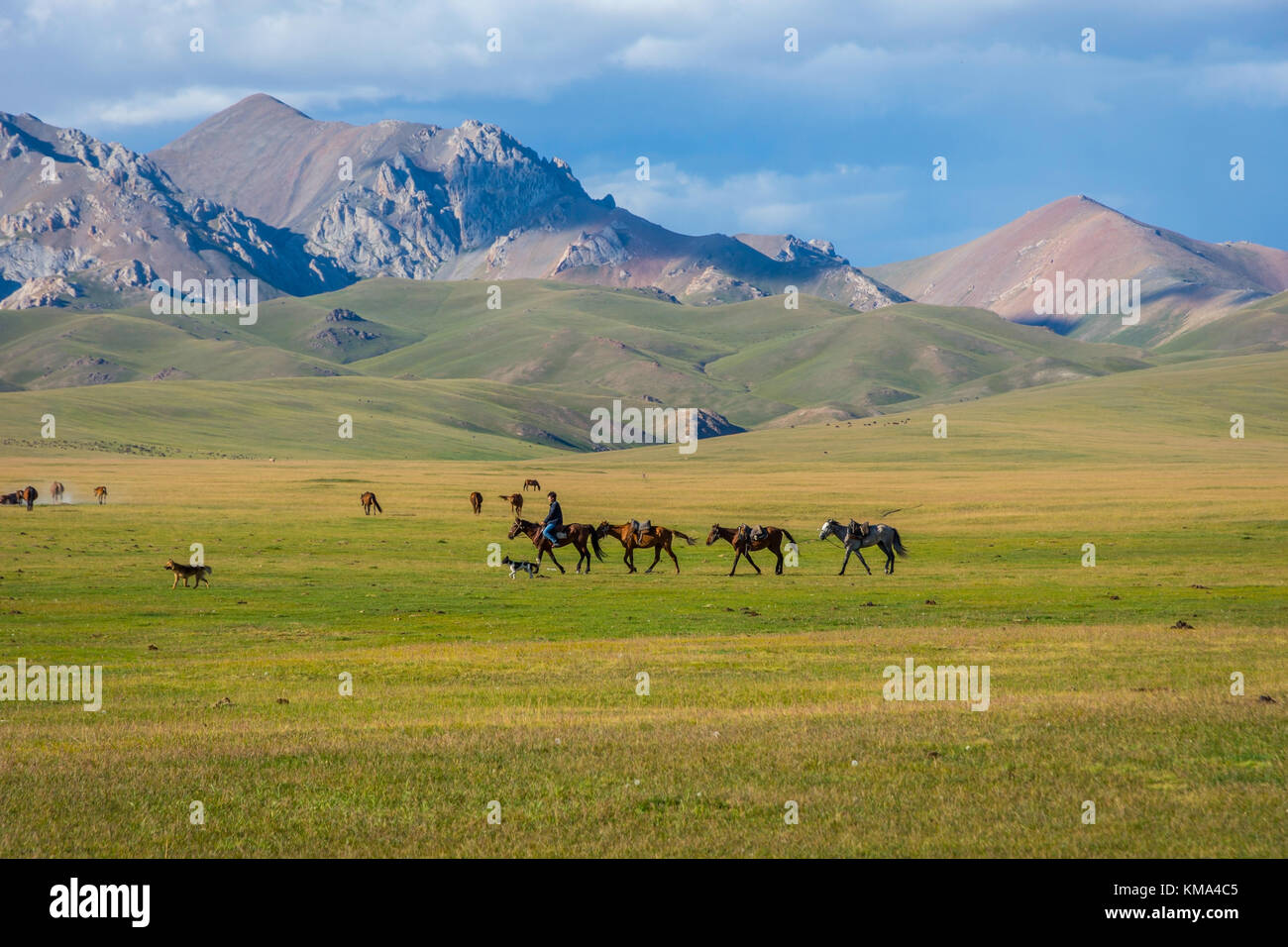 SONG KUL, KYRGYZSTAN - AUGUST 11: Man riding and guiding horses over scenic landscape of Song Kul lake. August 2016 - Stock Image
