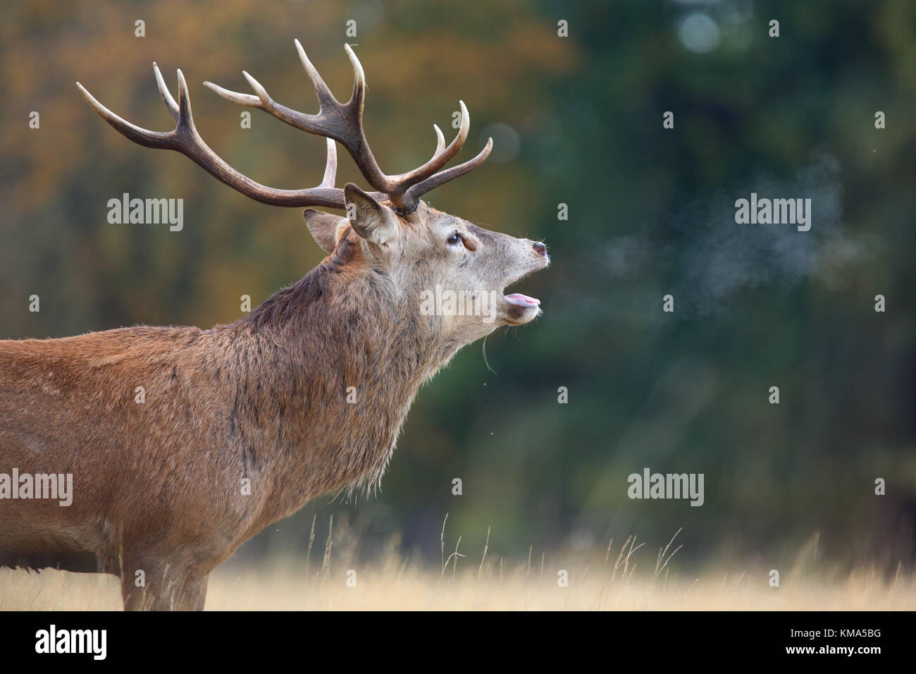 Red Deer (Cervus elaphus) stag, roaring during rut with breath condensing in cold air, Richmond Park, Richmond Upon - Stock Image
