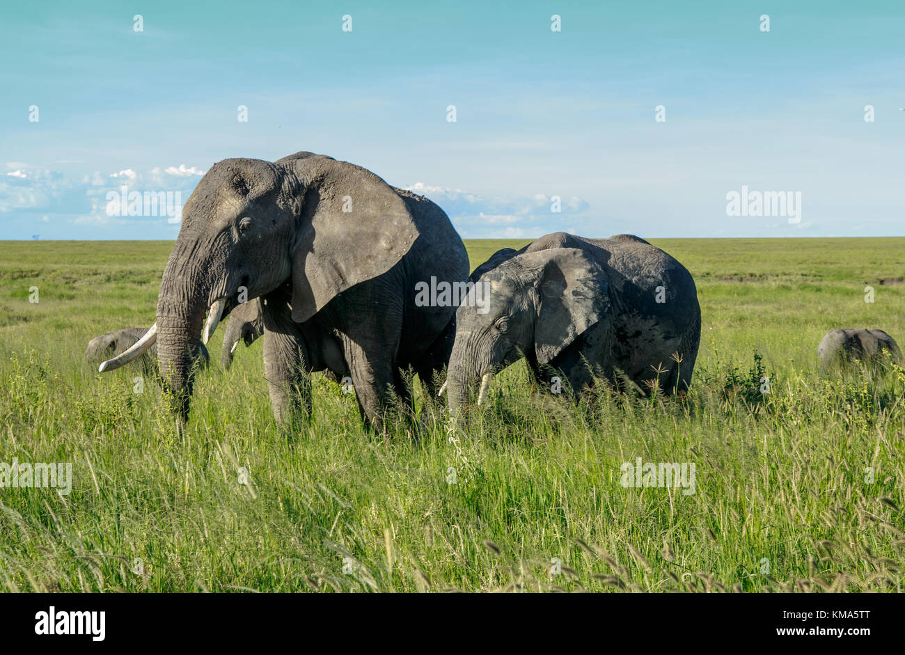 African elephant mother with a calf - Stock Image