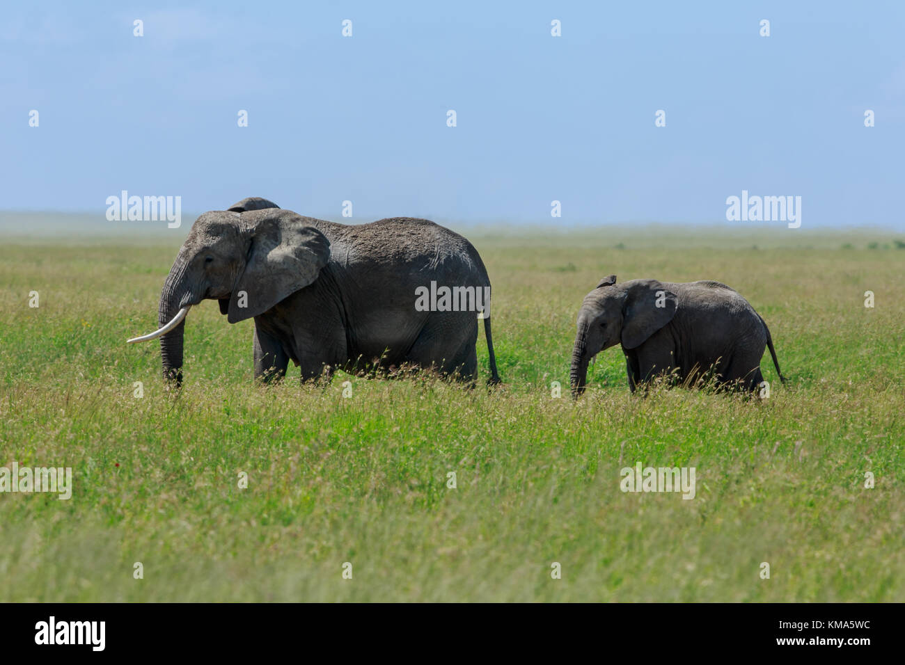 African elephant mother with a calf Stock Photo