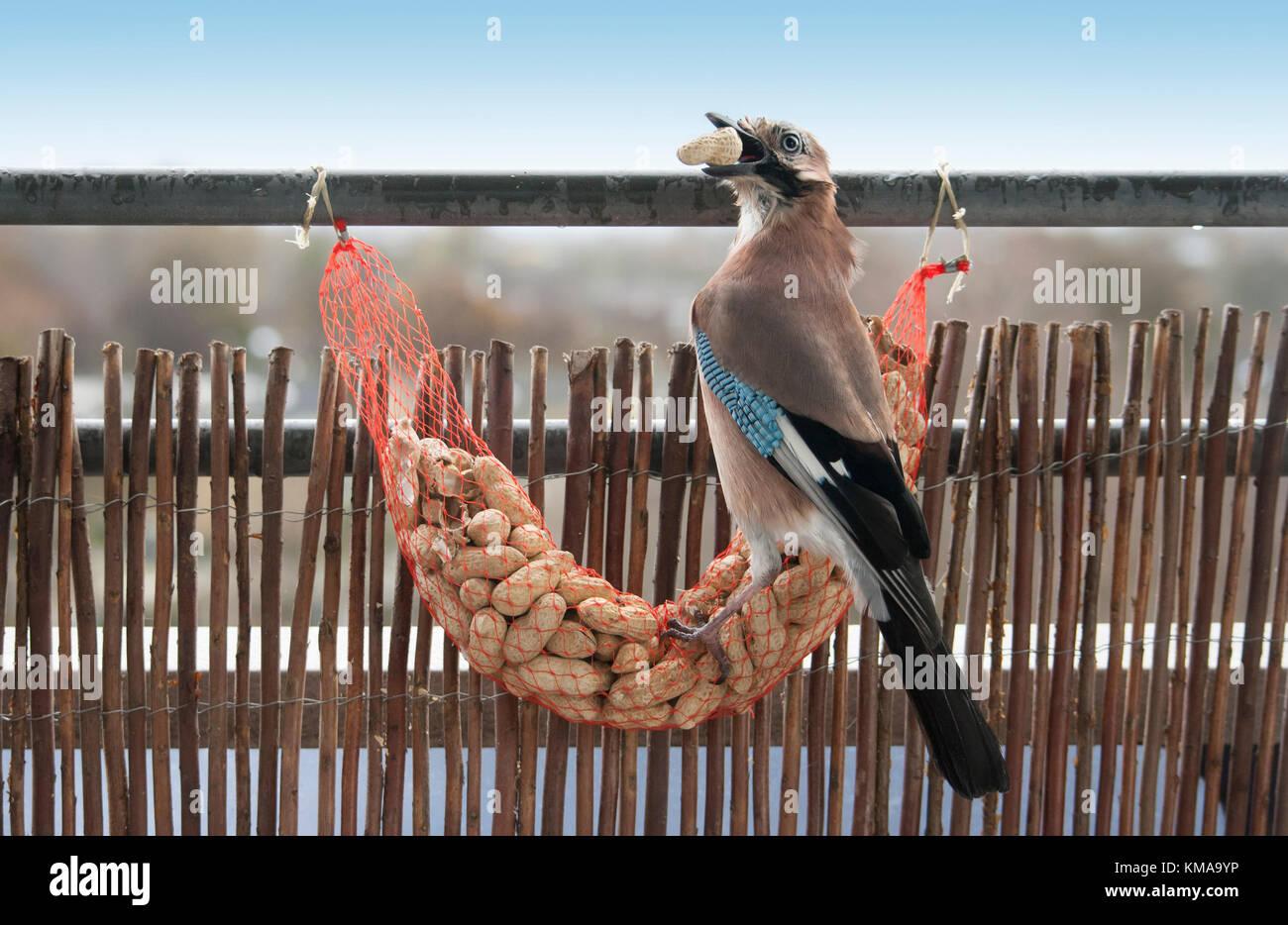 Garrulus glandarius, Eurasian Jay eating shell peanuts from feeding net - Stock Image