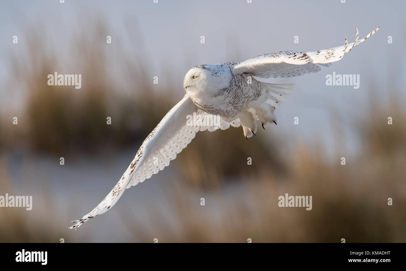A Snowy Owl at the Jersey Shore - Stock Image