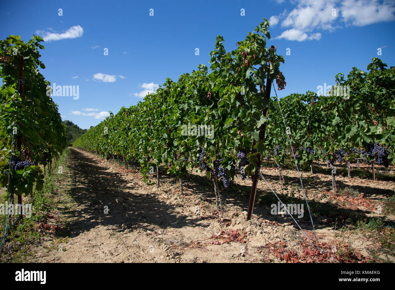 French vines in sunshine - Stock Image