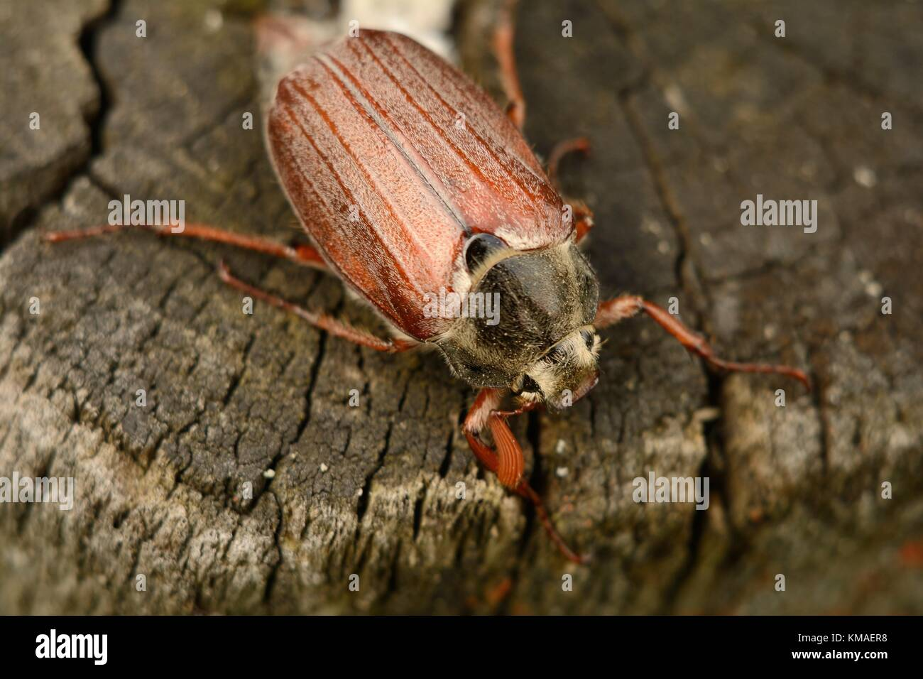 Adult cockchafer (melolontha beetle) Stock Photo