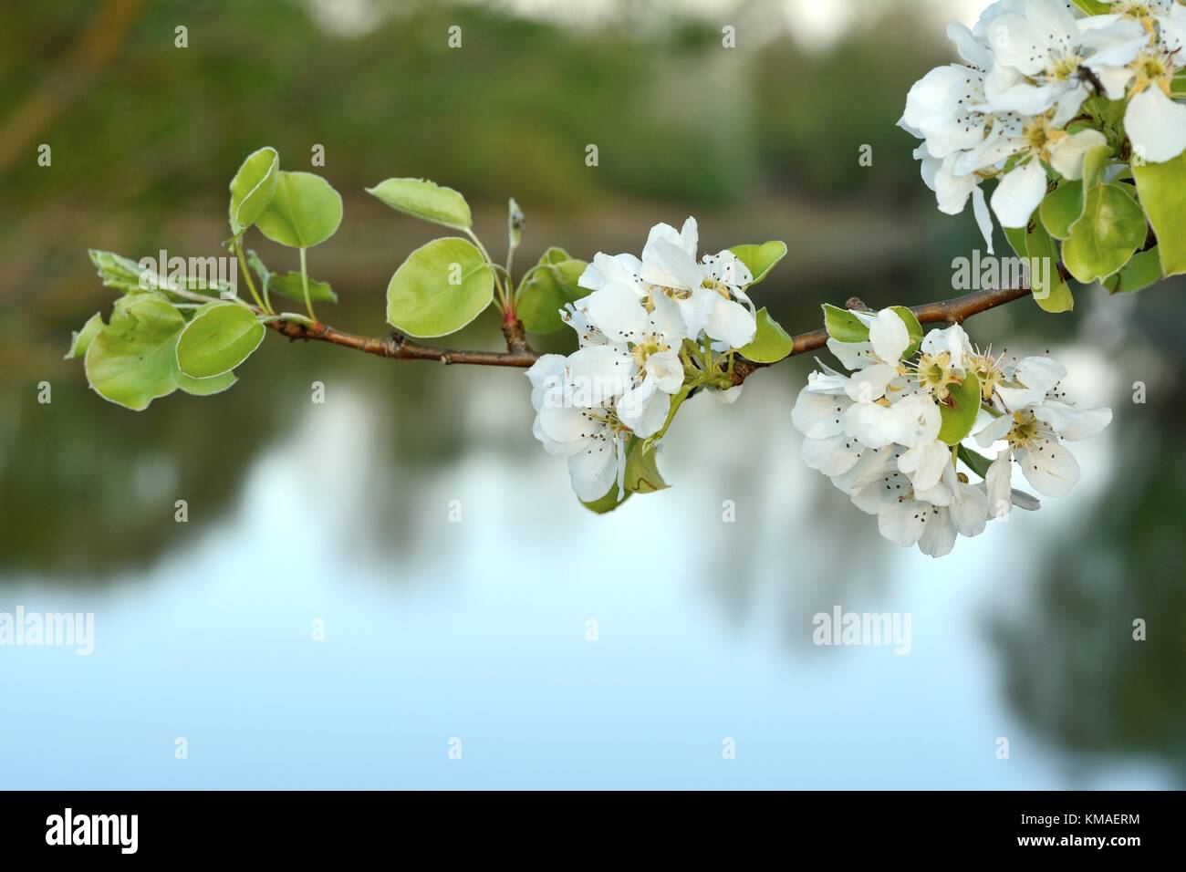 Wild pear (lat.: Pyrus communis) blossom in Spring Stock Photo
