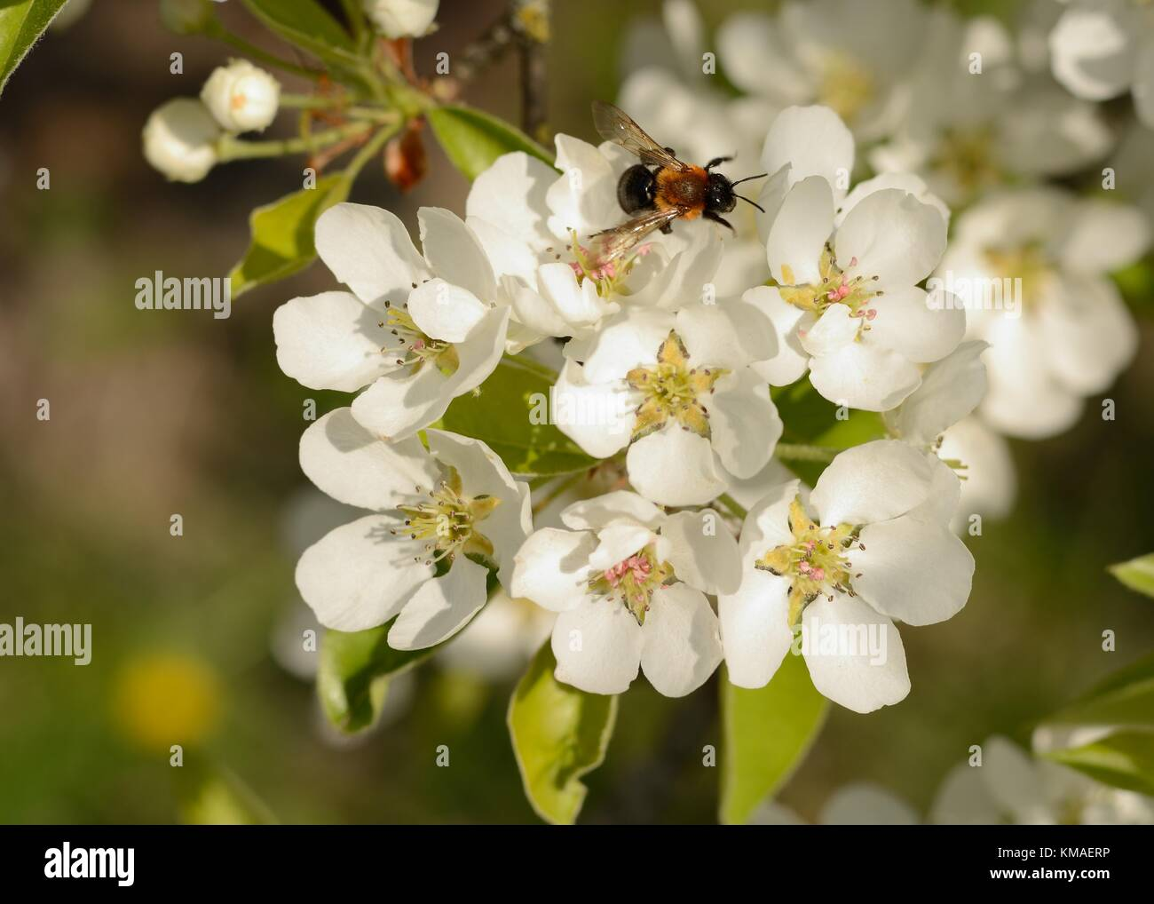 Bee pollinating wild pear (lat.: Pyrus communis) blossom in Spring - Stock Image