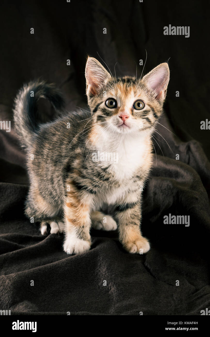 Vertical photo of colorful kitten sitting on dark brown blanket. The fur of cat is striped with black, grey and Stock Photo