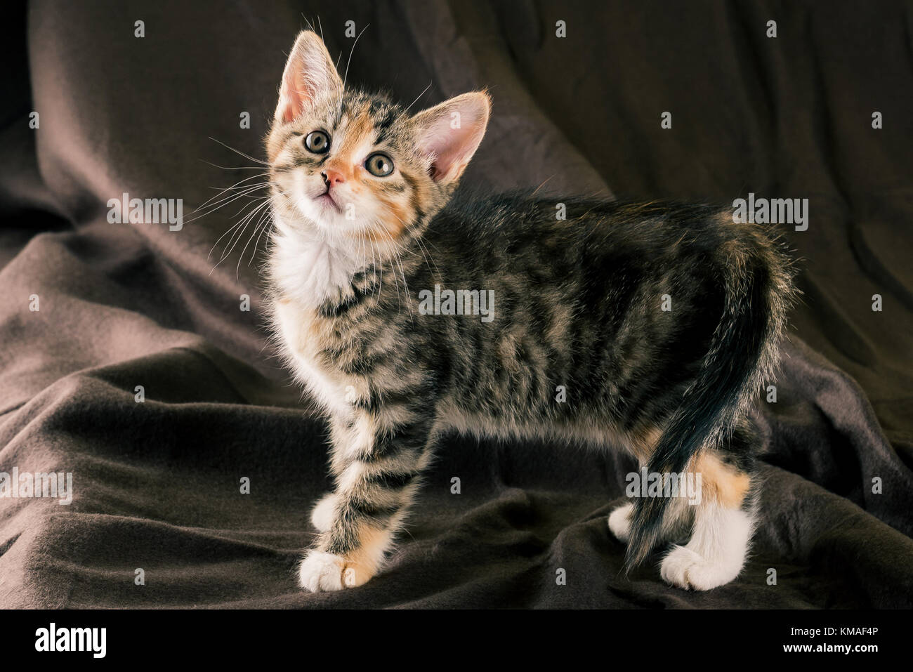 Horizontal photo of colorful kitten standing on dark brown blanket. The fur of cat is striped with black, grey and Stock Photo