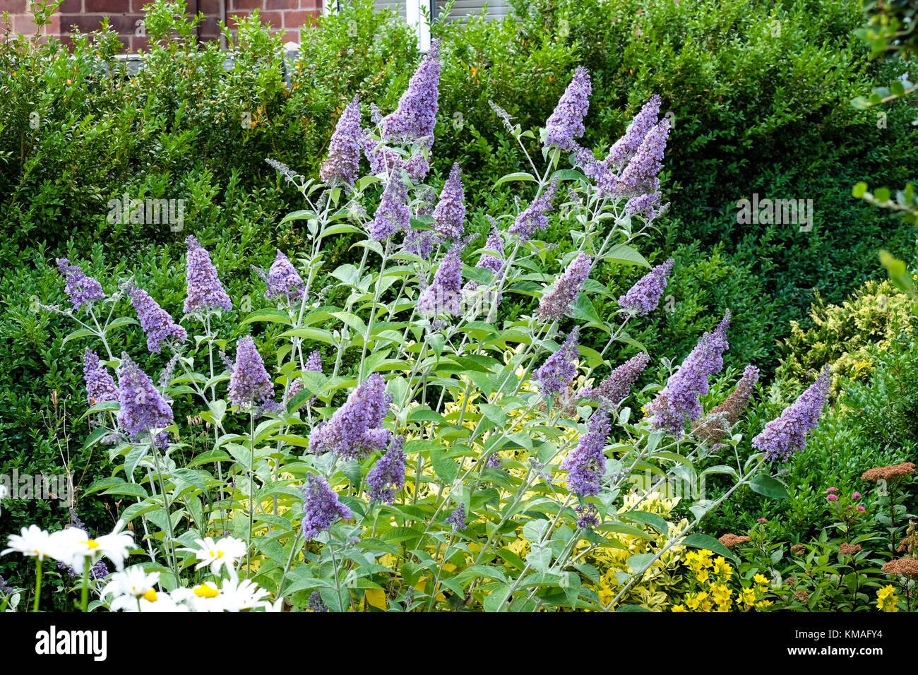 buddleia bush flowering in summer - Stock Image