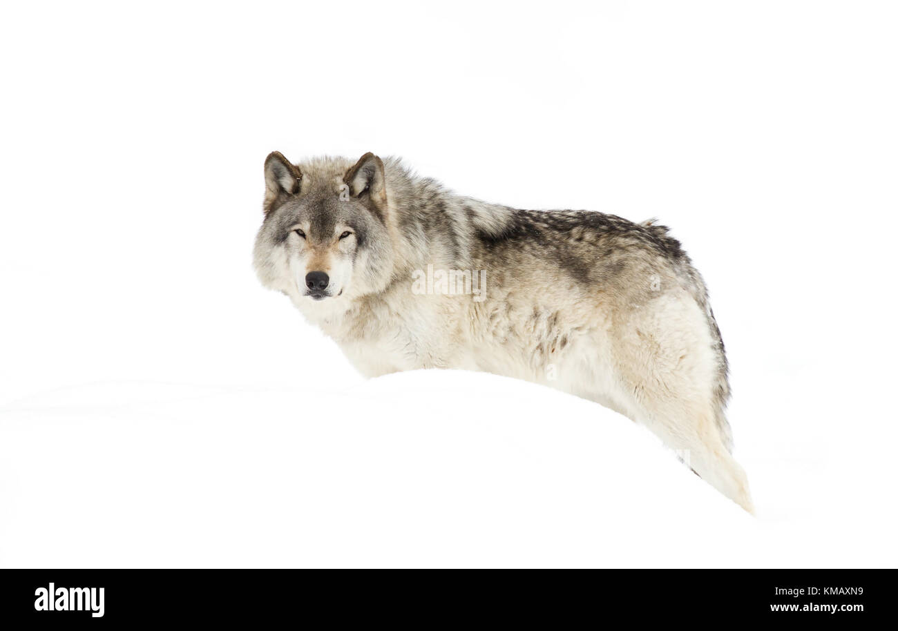 Timber wolf or Grey Wolf (Canis lupus) in the winter snow in Canada - Stock Image