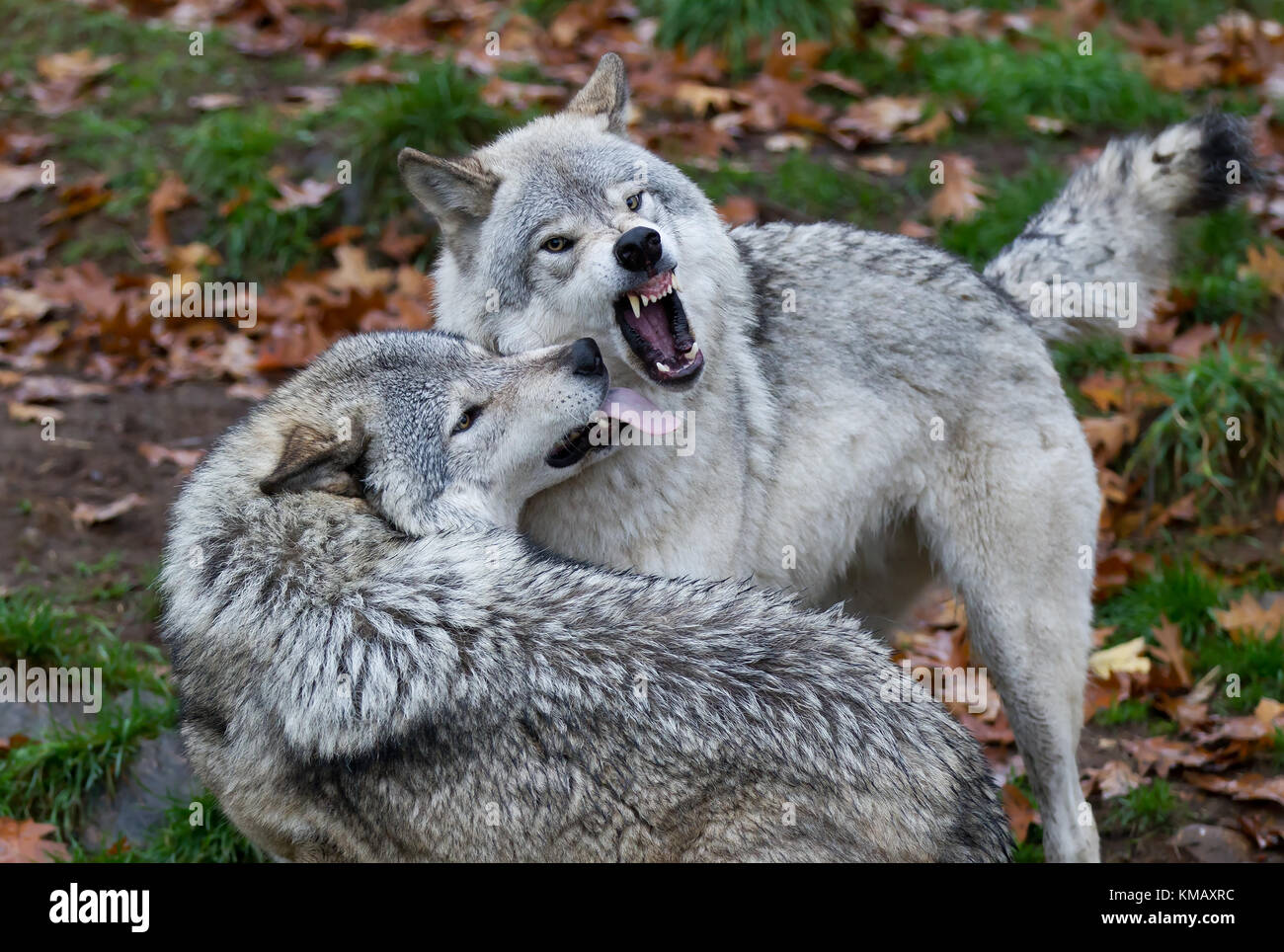 Timber wolves or Grey wolf (Canis lupus) playing with each other in autumn in Canada - Stock Image