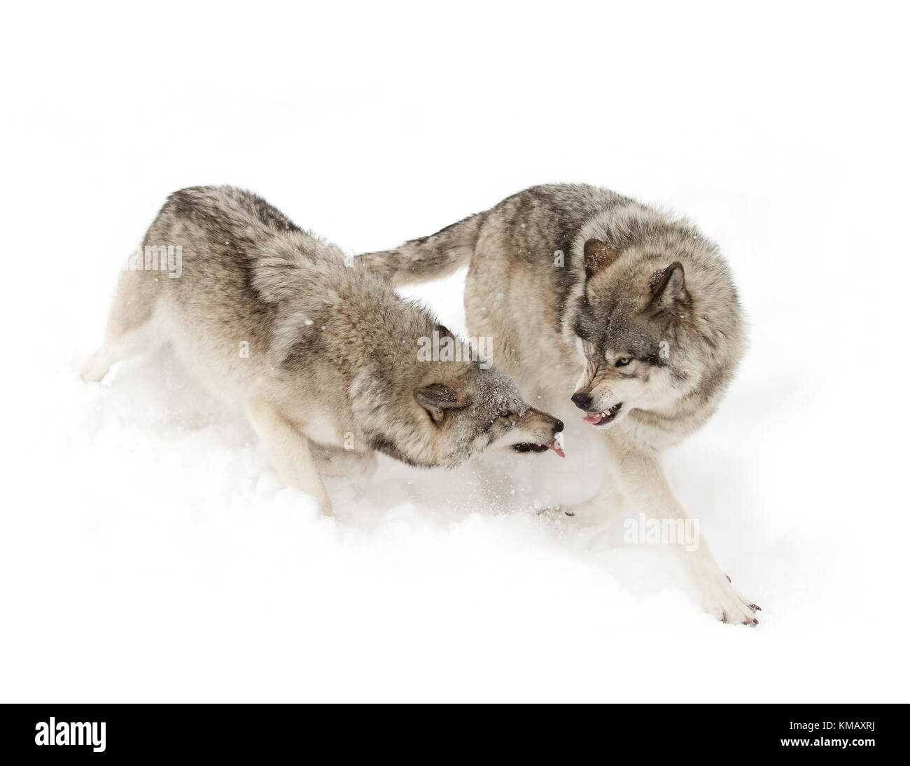 Timber wolves or Grey wolf (Canis lupus) playing with each other in winter in Canada - Stock Image
