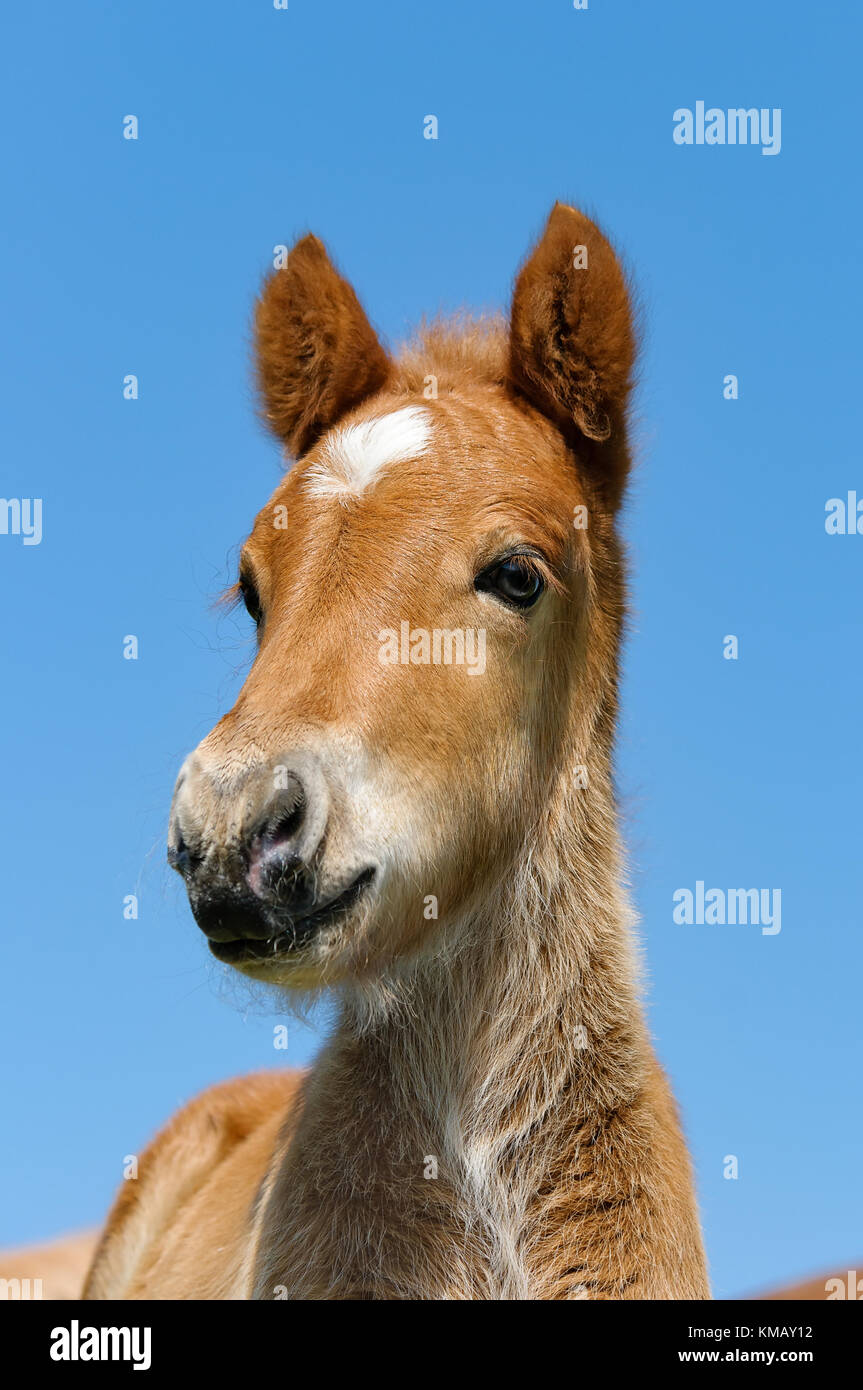 A young chestnut colored icelandic pony foal head with a white star marking, portrait in front of blue sky. - Stock Image